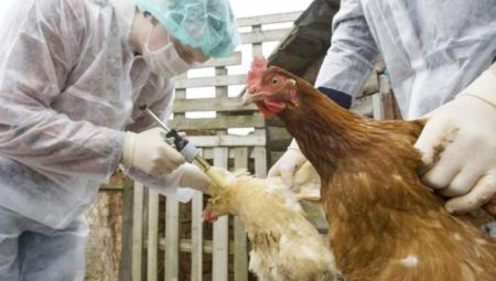 الإمارات تحظر استيراد البيض والطيور الحية من بريطانيا وهولندا