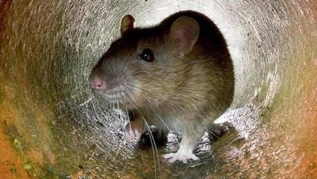 انتشار الفئران في لندن بنسبة 78% أثناء الإغلاق