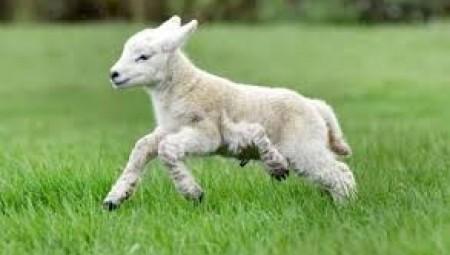 بيع خروف بالملايين